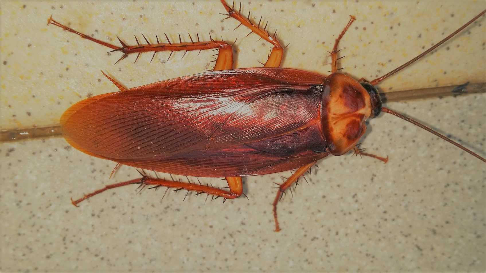 karaluch karaczan morfologia