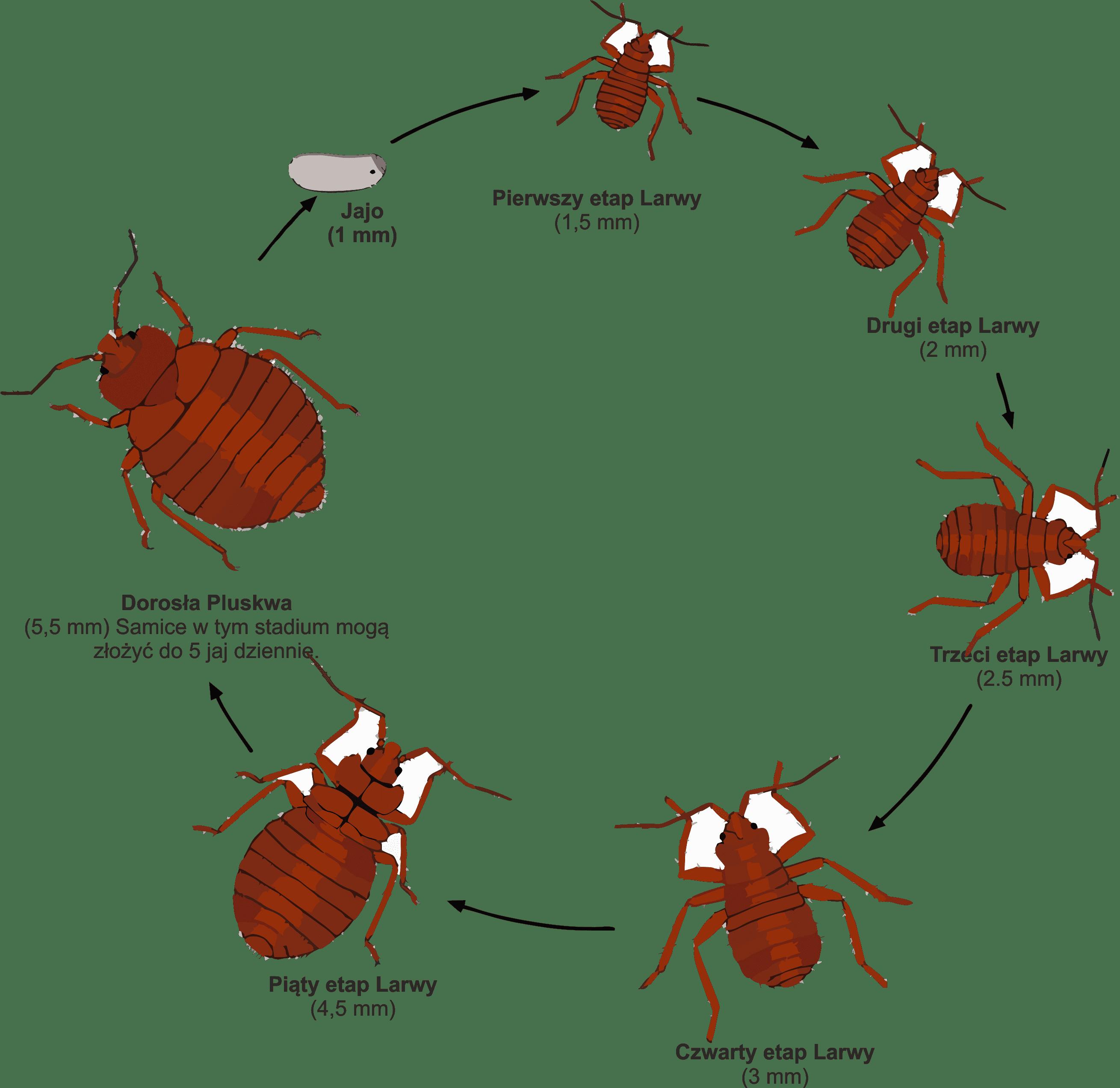 cykl rozwojowy pluskwy