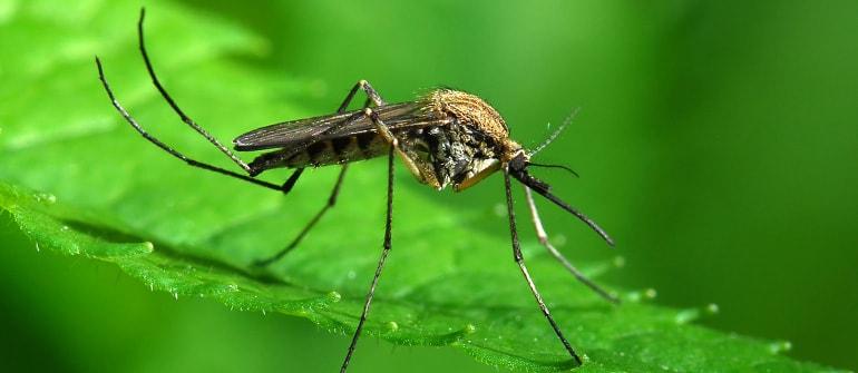 komar, zwalczanie komara, odkomarzanie
