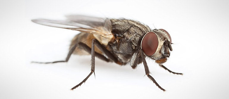 mucha domowa, zwalczanie muchy domowej