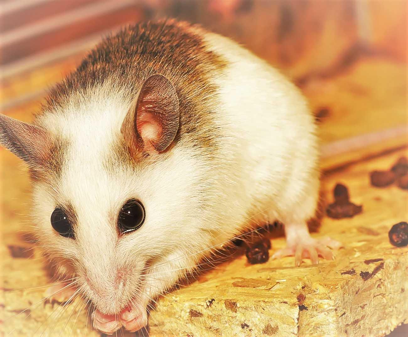 mysz gryzoń