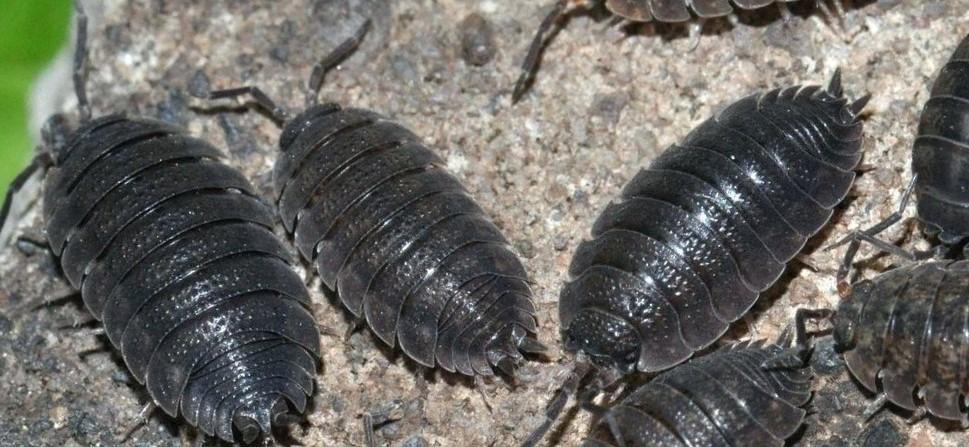 prosionek szorstki robak łazienkowy