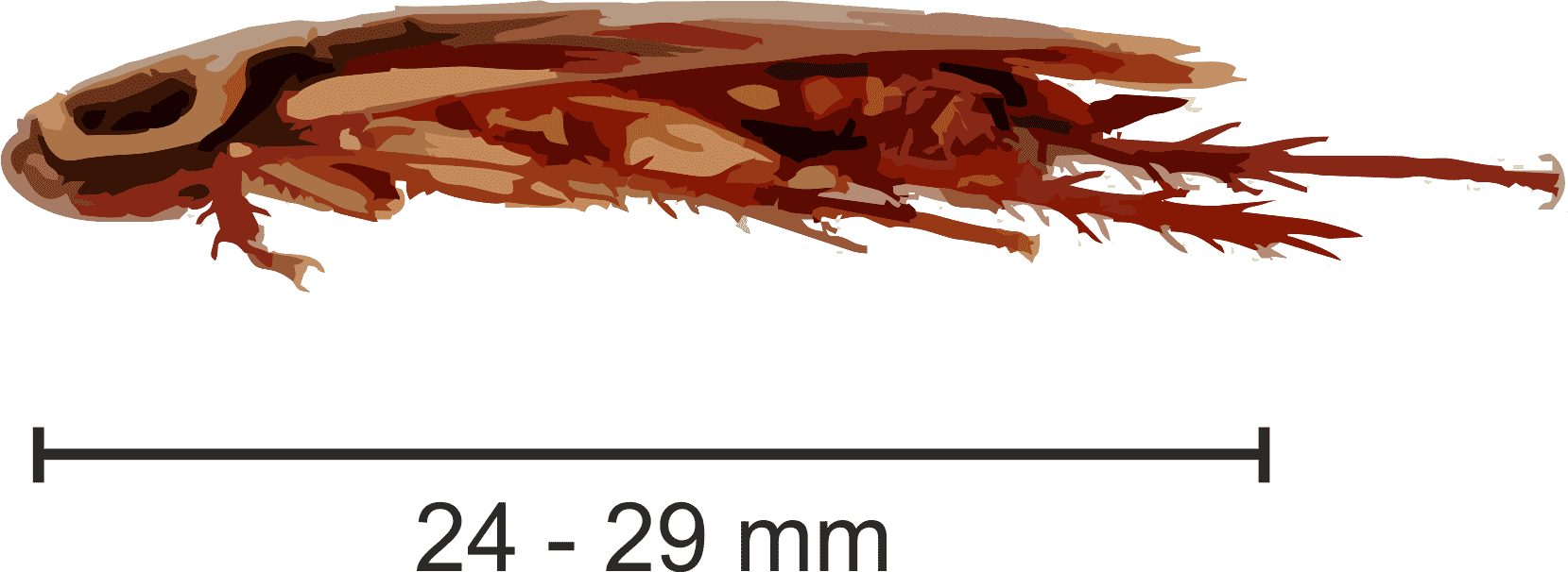 karaczan australijski rozmiar