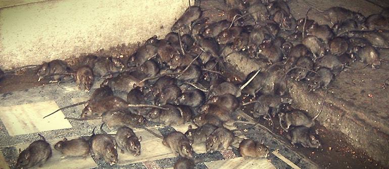 Deratyzacja, myszy, zwalczanie szczury,